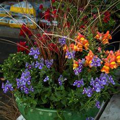 purple 'Bluebird' nemesia,  'brown and orange bicolor' snapdragon,  'crown red' snapdragon & leather leaf sedge