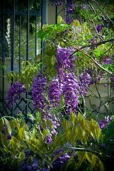 Wisteria At The Gate Print By Lynne Jenkins