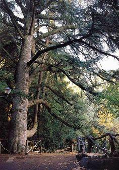 Cedro del Libano (Laconi - OR)