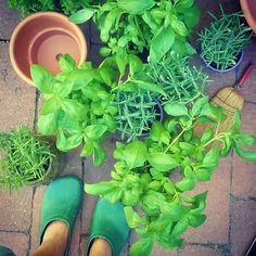 Working hard in my #garden... #mynaturestory #greens #basil #rosemary #summerinthecountry