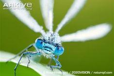 Common blue damselfly videos, photos and facts - Enallagma ...