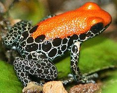 Rotrücken-Baumsteiger / Dendrobates recticulatus / Red-backed poison dart frog Most Poisonous Frog, Poisonous Animals, Funny Frogs, Cute Frogs, Les Reptiles, Reptiles And Amphibians, Amazing Frog, Awesome, Poison Dart Frogs