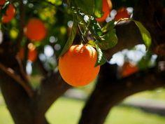 Narancs C vitamin tartalma – rendkívül magas, vetekszik a citroméval. Immunerősítő, antioxidáns hatásairól ismert emiatt elsősorban. Biologique, Nature, Meet, Fruit, Products, Collections, Platform, Orange Blossom, Flowers