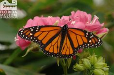 Monarch (Danaus plexippus). Florida Museum of Natural History photo by Jeff Gage