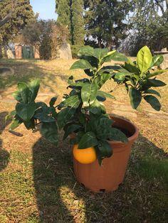 Arancio in vaso, il cui unico frutto di quest'anno è stato raccolto il giorno 1 febbraio! Frutto enorme e saporito! :-)