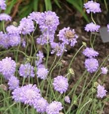 Image result for scabious kingfisher blue
