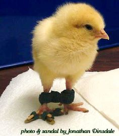 The Chicken Chick®: Spraddle leg & Curled Toes- Causes and Treatments