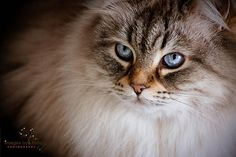 Calliope....Siberian cat/Neva Masquerade