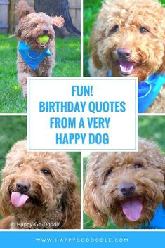 FUN birthday quotes from a very happy goldendoodle! 8 positive, smile-bringing messages about celebrating special days and birthdays with a dog by your side. Dog Birthday Quotes, Birthday Captions, Birthday Posts, Animal Birthday, Happpy Birthday, Happy Birthday Dog, Happy Birthday Messages, Birthday Fun, Birthday Greetings