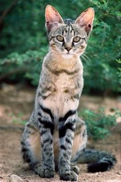 Savannah breed cat, beautiful blend of wild cat and a domestic cat. The Savannah cat breed was brought about by cross breeding a Serval cat, which hails from the grasslands of Africa, and a Siamese cat.