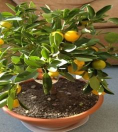 how-to-grow-a-lemon-tree-in-a-cup01