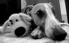 #whippet and friend