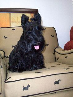 This scottie has his own chair. #ChairFabric