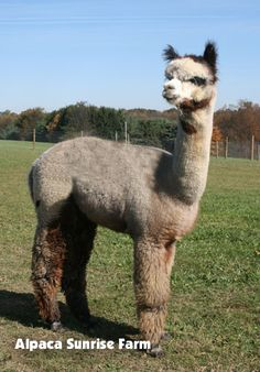 HUACAYA ALPACA. Alpaca Sunrise Farm is a full-service Alpaca farm since 1998 • Alpaca sales • breeding • boarding • Alpaca raw fiber, yarn, roving sales for knitters, crocheters, weavers and fiber artists. www.AlpacaSunrise... #alpaca #alpacas