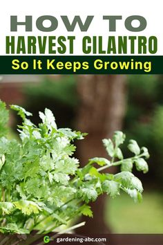 Cilantros are harvested mainly for leaves and seeds. Here is a simple guide on How to harvest cilantro without killing the plant. #cilantro #coriander How To Harvest Cilantro, Growing Veggies, Coriander, Seeds, Leaves, Simple, Plants, Plant, Planets