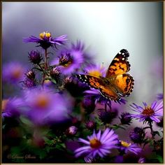 butterflies | Beautiful Butterflies - butterflies Photo