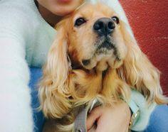 Sukkie !  #sukthecocker #cockerspaniel #handsomedog #dogstagram #cockerstagram #dog #lovemycockerspaniel #ilmycocker #cutedog #cuteface #petstagram #ilovecockers #cockerspanielcuties #followme #likes #follow4follow #like4like #dogo