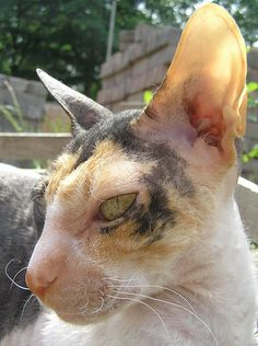 cornish rex- isn't this one a beauty?