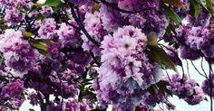 Just Pinned to LilacPurpleViolets: New post on violetvio http://ift.tt/2tIKgI1