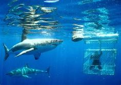 Shark Cage Diving on the North Shore of Hawaii Completed:  Sept. 2007