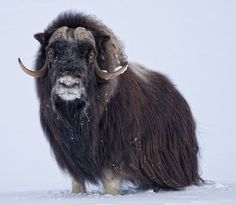 #MuskOx move with the seasons, relocating where the snow is thinnest, requiring less energy to dig to get to plants.