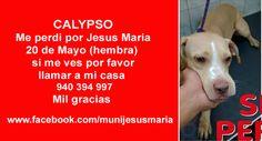 CALYPSO Me perdi por Jesus Maria 20 de Mayo (hembra) si me ves por favor llamar a mi casa  940 394 997 Mil gracias  www.facebook.com/munijesusmaria https://www.facebook.com/munijesusmaria/photos/a.294825307362825.1073741934.139511072894250/463298693848818/?type=1&theater