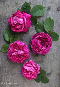 tavola rose da sciroppo