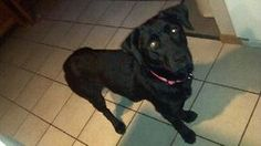 Hailey is an adoptable Black Labrador Retriever Dog in Brooklyn Center, MN. You can fill out an adoption application online on our official website. Haley is about as sweet and as mellow as you can ge...