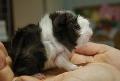 Chocolate/white baby Abyssinian Guinea pig (male) | #Maailman Guinea pigs