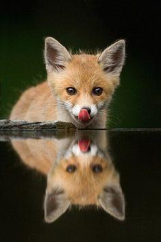 Cute little fox licking its nose. >^_^