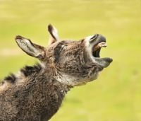 Picture of braying donkey