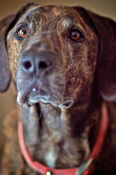 Own a Plott Hound. Yes! (and whatever else my dog might have in him, that is totally his face)
