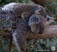 Koala mum is napping, but baby is wide awake.