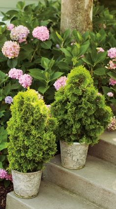 Evergreens are such a nice way to greet your guests, and Filips Magic Moment is a dwarf arborvitae with green gold foliage. A wonderful plant for pots. Container Plants, Container Gardening, Flower Containers, Outdoor Entryway Decor, Whiskey Barrel Planter, Evergreen Bush, Thuja Occidentalis, Landscaping Plants, Landscaping Ideas