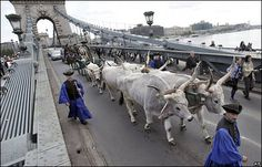 Hungarian cattle workers escort a wagon pulled by traditional grey cattle across the River Danube in Budapest, to call attention to the need to protect the endangered animals.