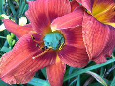 Tree frog in day lily