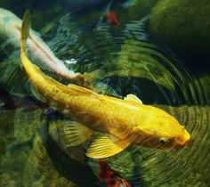 koi fish photography - Google Search