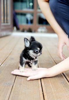 tiny chihuahua.... I want to cry it's so adorable.