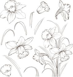 Flower Drawing Set of line drawing narcissus, vector illustration royalty-free set of line drawing narcissus vector illustration stock vector art Flower Line Drawings, Flower Sketches, Drawing Sketches, Art Drawings, Drawing Flowers, Sketching, Narcissus Flower Tattoos, Daffodil Tattoo, Illustration Blume