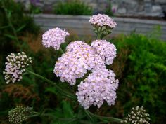HERBAL PICNIC: YARROW Yarrow has been long recognized as a protective, healing plant. Yarrow can be used in sachets for love, courage, communication & psychic abilities. Yarrow strewn across a threshold will prevent unhelpful spirits from entering. It was one of the herbs dedicated to the Evil One, in earlier days & was used for divination in spells.