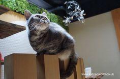 Cat Travel: Neko no Jikan Amemura – Osaka Cat Cafe Part 2 check this amazing photo from Katzenworld