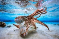 """Underwater photographer of the year – winner. Dancing Octopus by Gabriel Barathieu (France). Location: Island of Mayotte, off the coast of south-east Africa""""Balletic and malevolent,"""" one judge said of this octopus, hunting in a lagoon. Barathieu waited until spring tides when there was just 30cm of water on the flats and plenty of light in the shallows."""