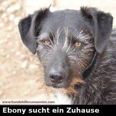 ️ Ebony sucht ein Zuhause  Ebony ist 2 1/2 Jahre, 50cm und wiegt ca 15kg. Sie ist verträglich mit Katzen und freut sich über jede Aufmerksadmkeit und Zuneigung die sie bekommt. Sie fordert sie bettelnd mit ihrer Pfote ein. An der Leine laufen klappt auch schon sehr gut, etwas Angst hat sie noch,  diese wird jedoch schnell verschwinden wenn ihr jemand mit Liebe und Geduld zeigt wie schön die Welt ist. Ebony ist geimpft, entwurmt, gechipt, kastriet