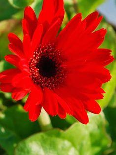 Red Gerbera Daisy.   Kristine Gazzo.