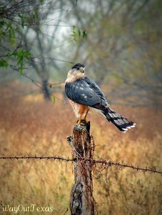 Nice hawk-South Texas - I had one in my backyard this morning, I wonder how rare that is in Fort Worth? Bird Sightings, Cooper's Hawk, N Animals, Rio Grande Valley, Texas Photography, South Texas, All Gods Creatures, Birds Of Prey, Hawks