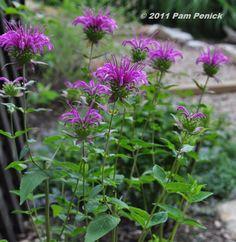 Peter's Purple monarda- it goes well wih purple coneflower don't you think?