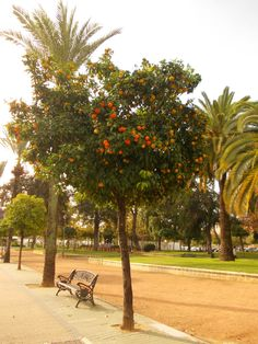 Orange tree in Cordoba. You can almost feel the smell of oranges :)  http://roomsevilla.com/