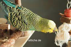 6 Jahre alter Wellensittich, der seit 4 Jahren an Megas erkrankt ist. Budgies, Parrots, Alter, Birds, Fish, Pets, Animals, Exotic Birds, Parakeets