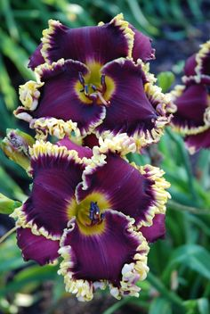 With daylilies, especially ~Daylily 'Midnight in Paris' (Stamile-Pierce, Unusual Flowers, Amazing Flowers, Purple Flowers, Beautiful Flowers, Beautiful Gorgeous, Absolutely Gorgeous, Flowers Bunch, Lilies Flowers, Purple Orchids