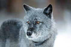 Werden Sie Wolfspate